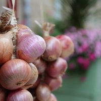 Roscoff - home of the onions